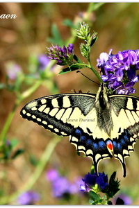 Machaon ou Papilio Machaon