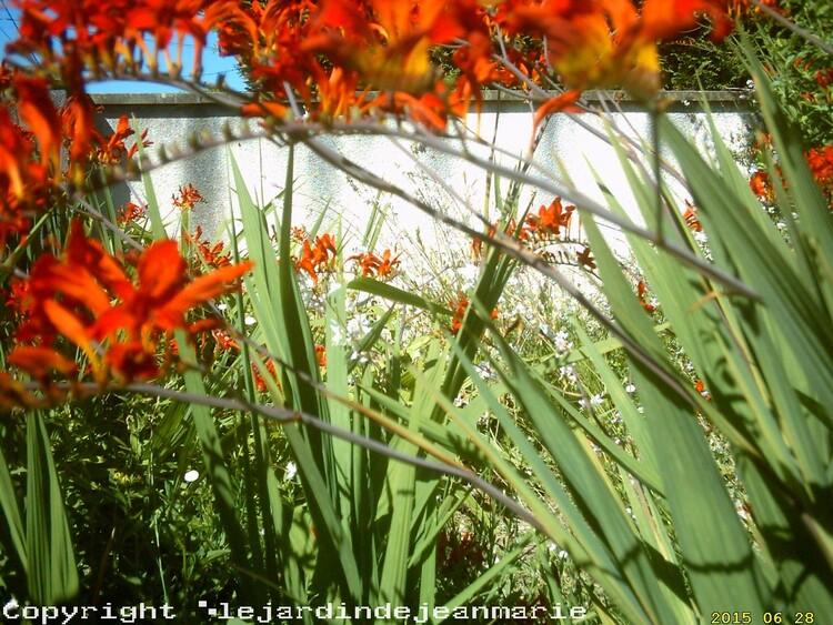 les crocosmias lucifer dans mon jardin