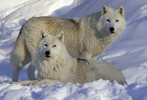 des beaux loups blancs