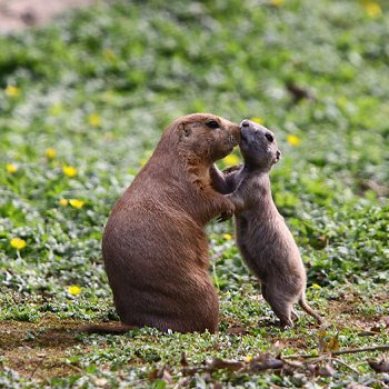 le bébé chien de prairie et sa maman, au parc de branféré