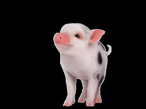 Cochons Série 2