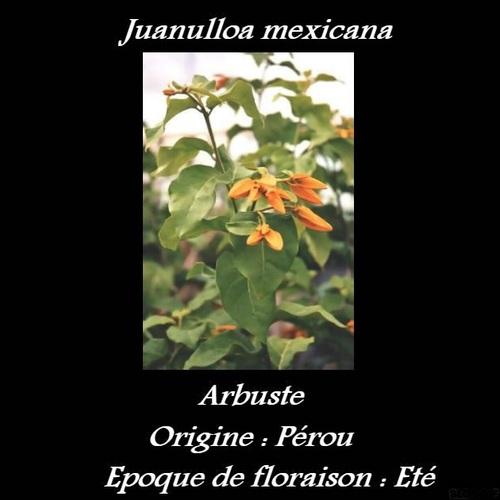 Juanulloa mexicana