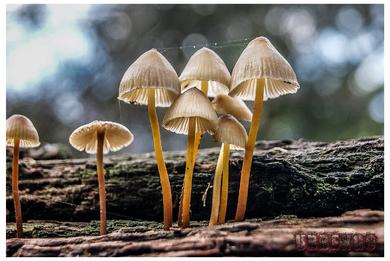 La guinguette mushrooms