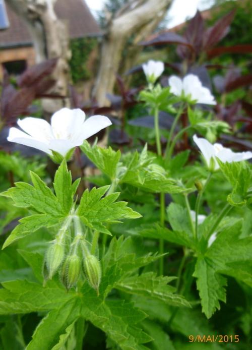 Les géraniums vivaces: de merveilleux accompagnateurs pour les vivaces et les roses