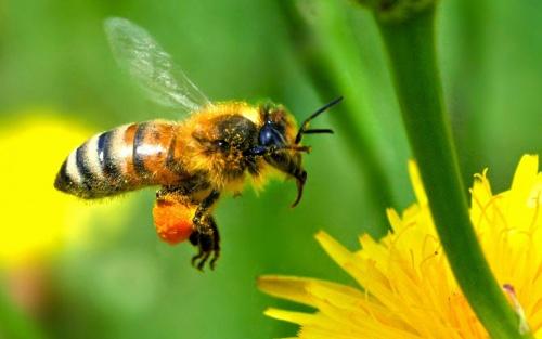 Les firmes défendent leurs insecticides tueurs d'abeilles