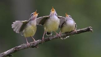 Le chant des oiseaux ...