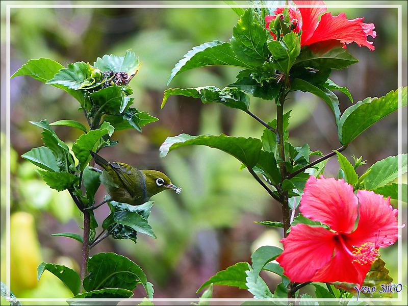 Zostérops à dos gris, Silvereye (Zosterops lateralis) - Huahine - Polynésie française