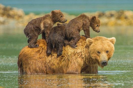 """Résultat de recherche d'images pour """"mothers and cubs"""""""