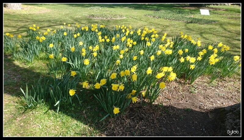Tulipes et Jonquilles ღ