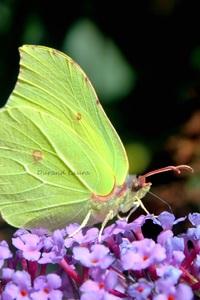 Citron ou Gonepteryx Rhamni
