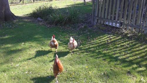 Les poulettes en liberté