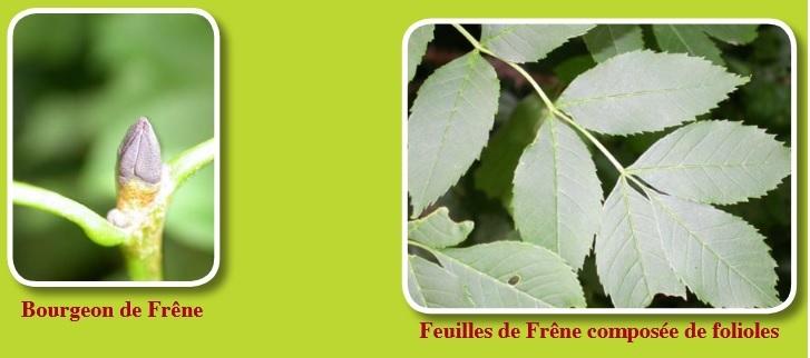 Frêne Fraxinus aspects