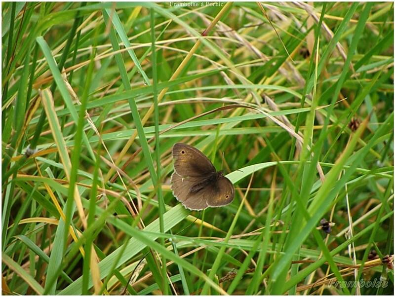 Papillons fadet commun