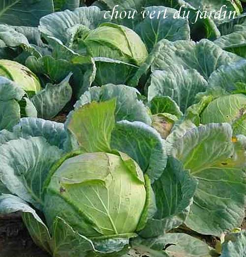 Vertus des Plantes Médicinales : CHOU