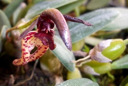 fleur, orchidée, macro
