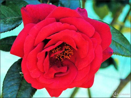 Photos de Roses diverses (fleur-flore)