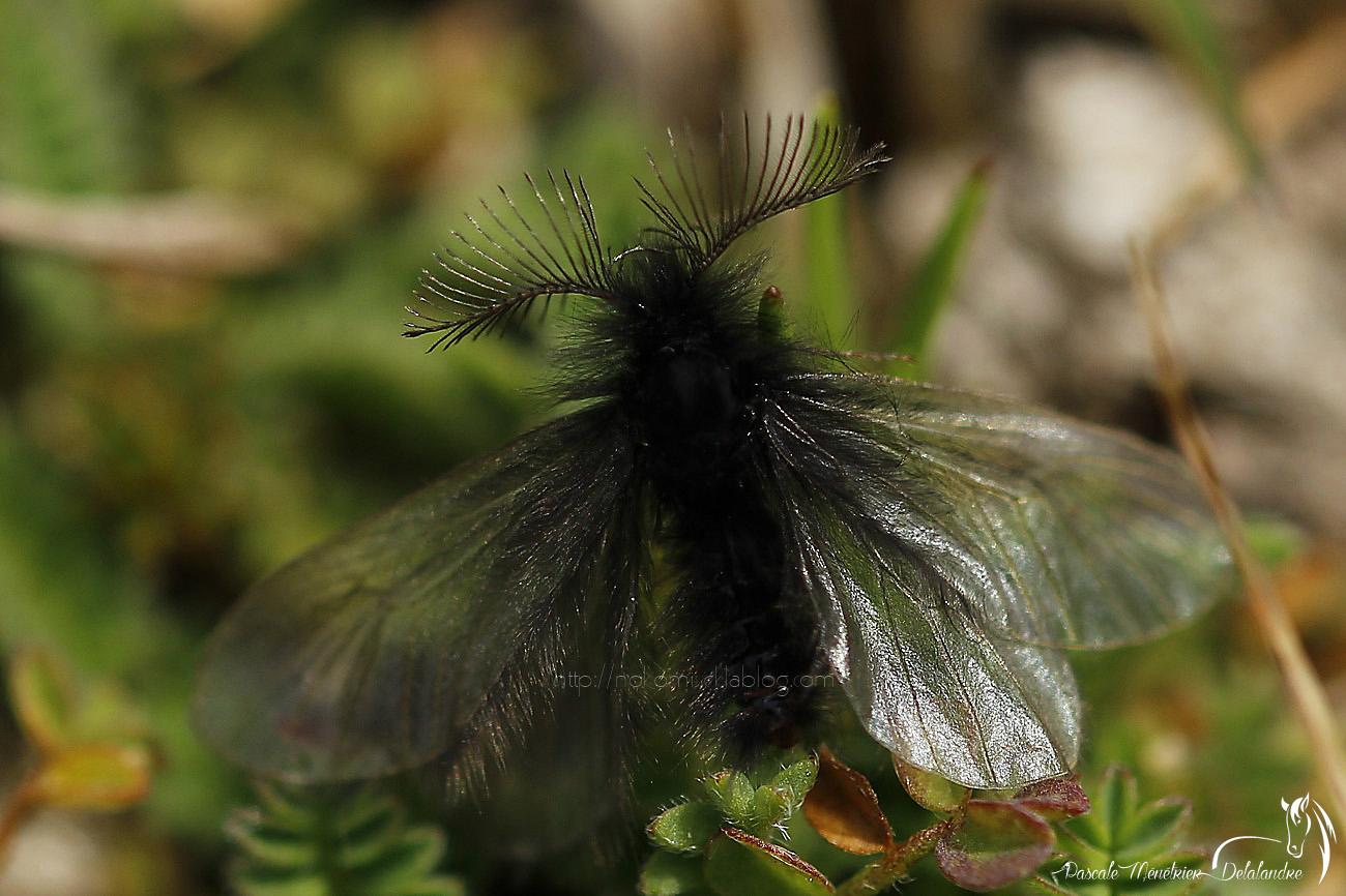 Mâle de Psychide Ptilocephala agrostidis