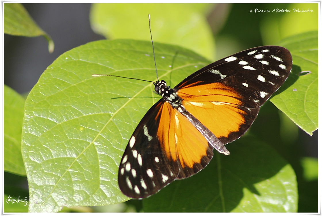Heliconius hecale ou l'Hecalé - Nymphalidae