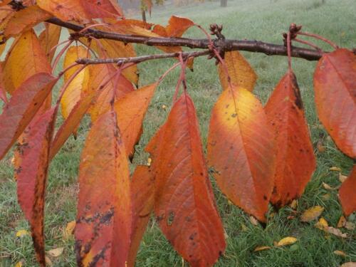 gros plan sur une branche de cerisier en automne, feuilles cuivre et or, sur fond de pré embrumé
