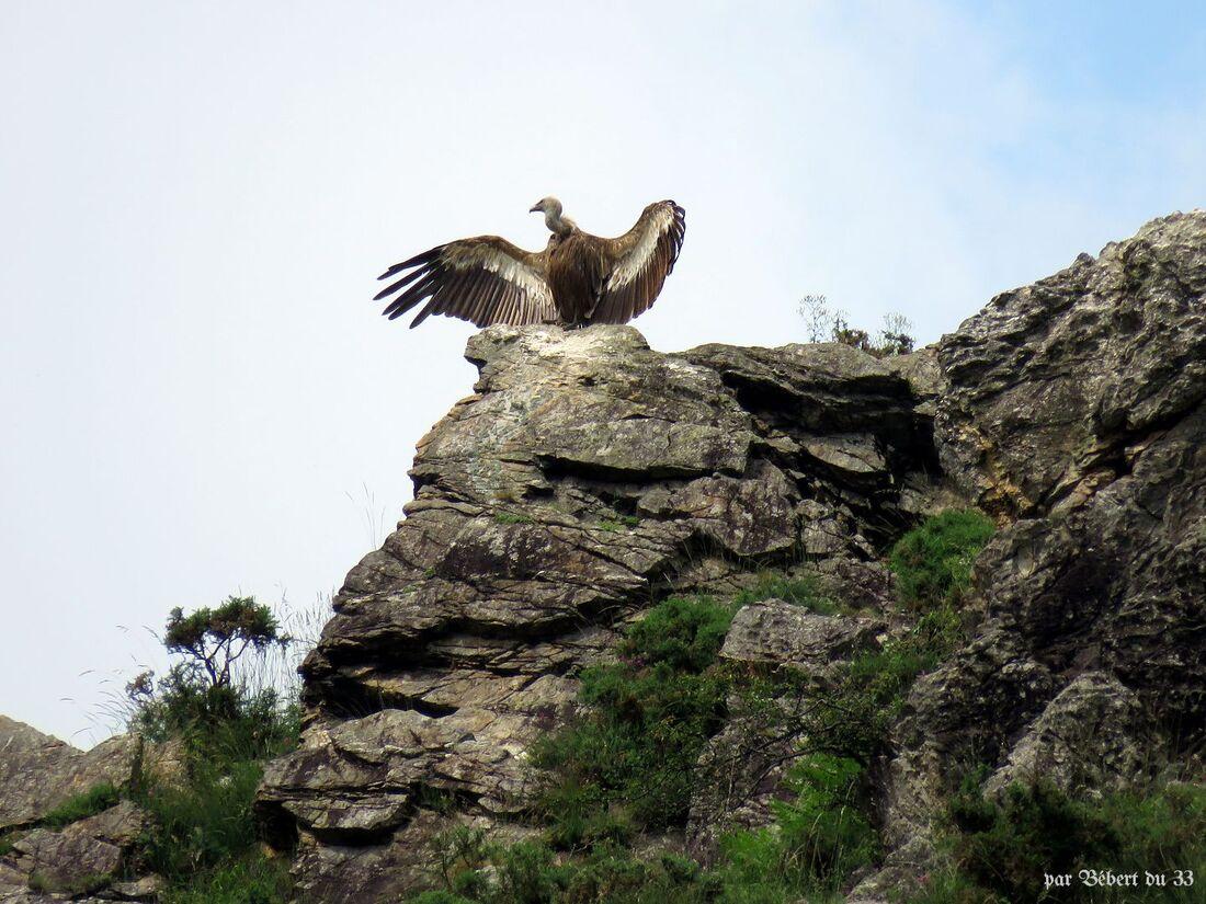 des vautours fauves