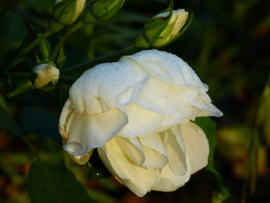 Roses d'été