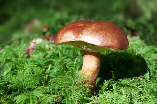 Gathering, Mushroom, Rac, Boletus Badius