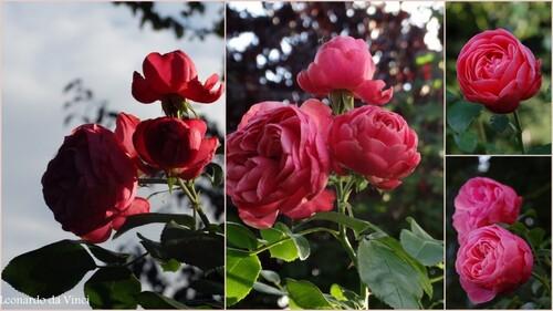 Roses de fin septembre