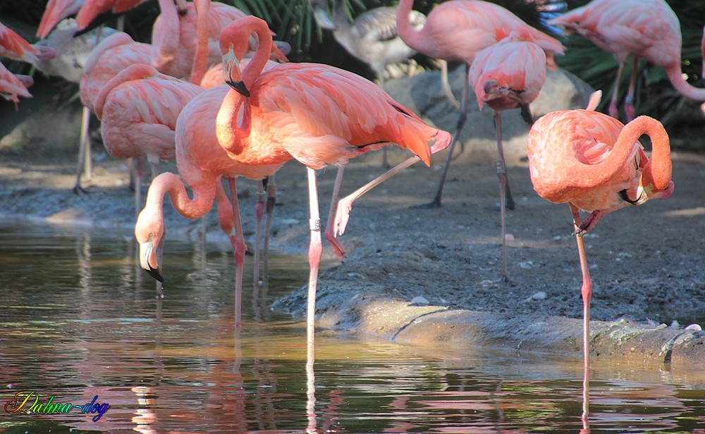 "flamants rose "" la Palmyre"""