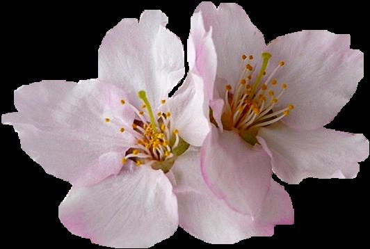 Tubes png fleurs cerisiers et pommiers