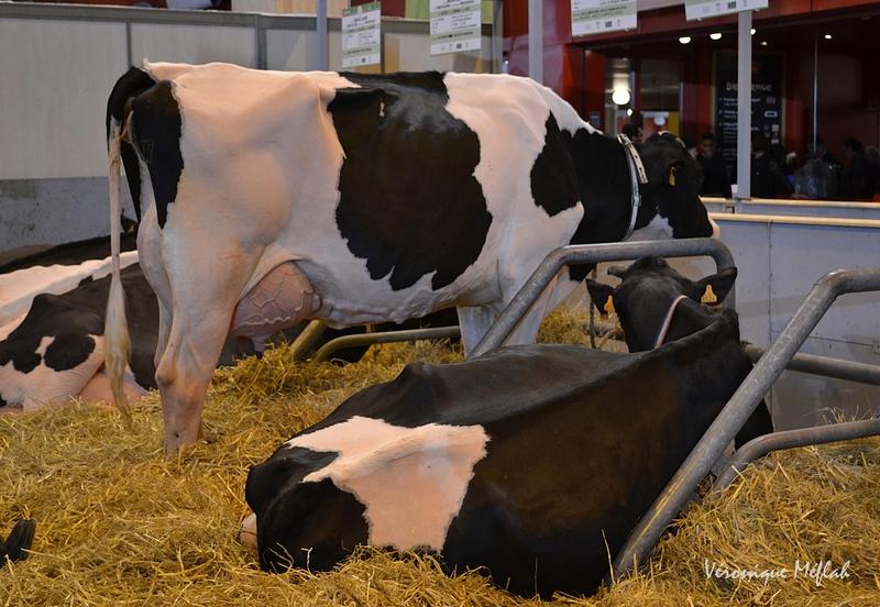 Salon International de l'Agriculture :  La Montbéliarde et la Prim'Holstein