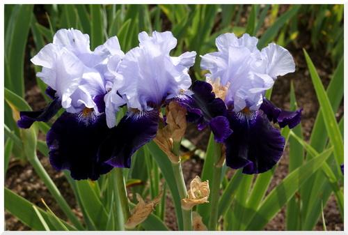 2015. Les Iris de Bagatelle