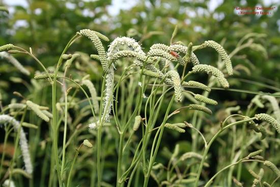 sanguisorba tenuifolia 'alba' 0