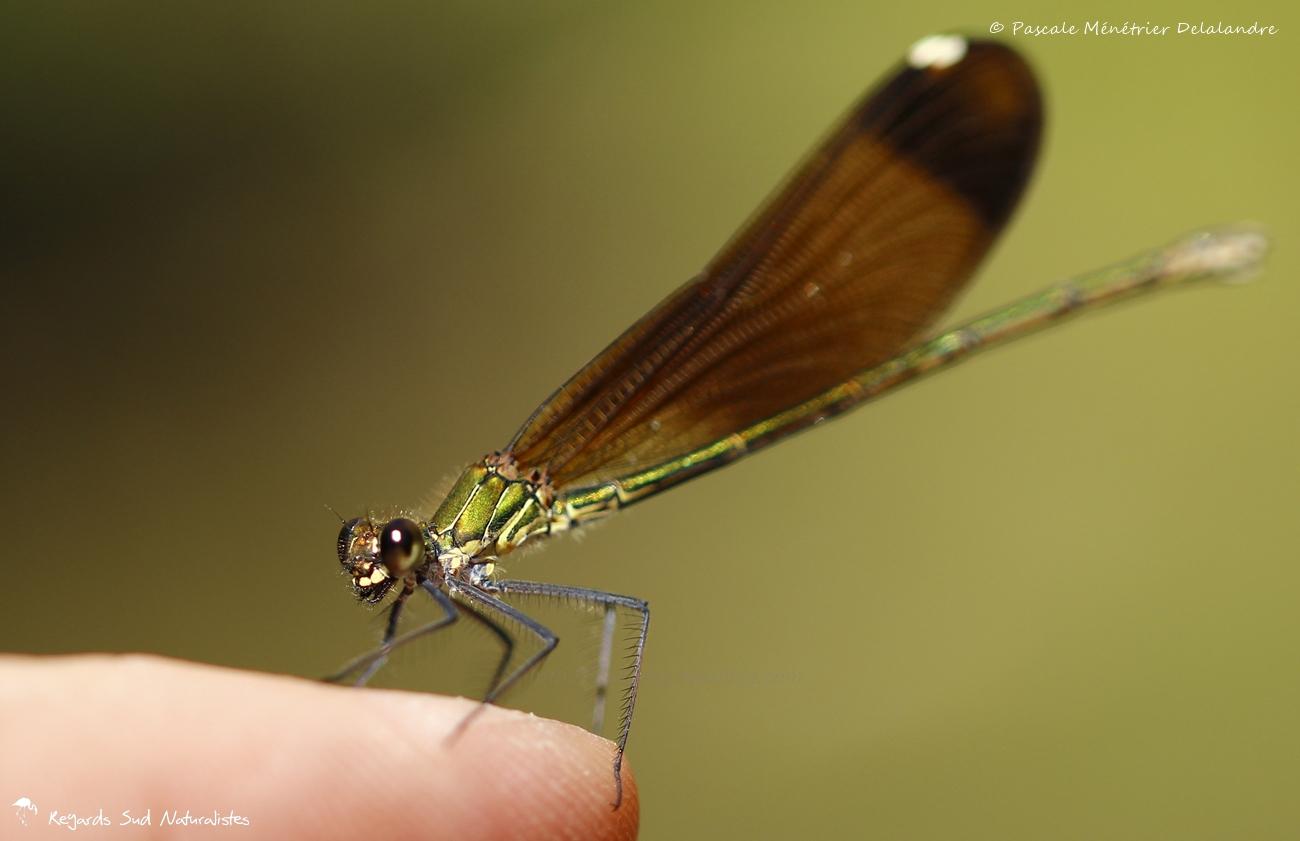 Caloptéryx hémorroïdal ♀ - Calopteryx haemorrhoidalis (posé sur mon doigt)