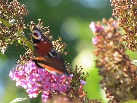 les-papillons-6413.JPG