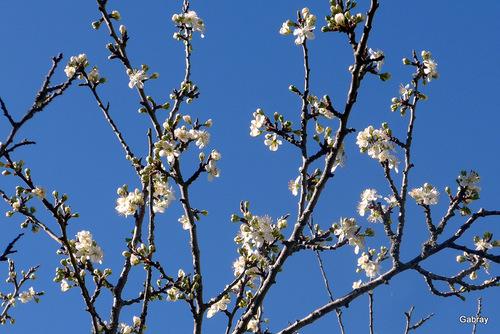 Mes cerisiers sont fleuris ...