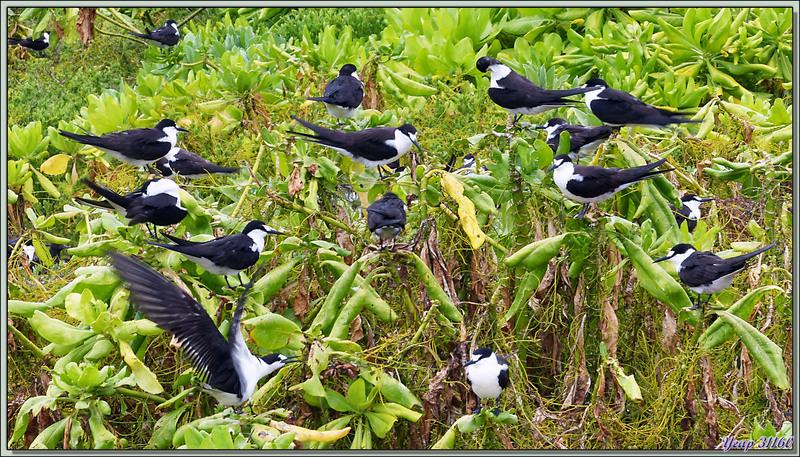 Sternes fuligineuses (Onychoprion fuscatus) - Bird Island - Seych