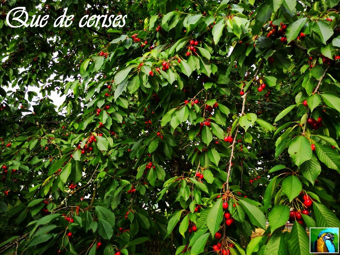 Vigne et Cerisier et ???