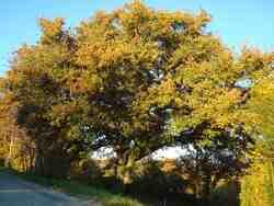 Grand chêne blanc du Péage / commune d'Auriples-La Répara : le 1er novembre 2015 ;