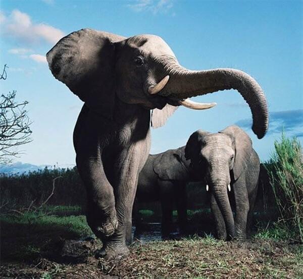 Les éléphants dans la savane