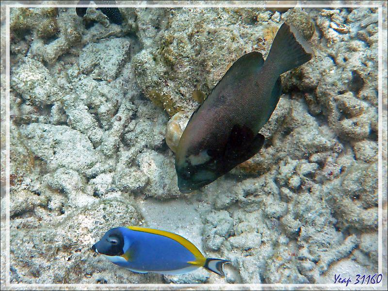 Snorkeling : Vieille roga, Mérou gueule rouge, Mérou noir, Matongo, Redmouth grouper, Red-flushed cod (Aethaloperca rogaa) - Moofushi - Atoll d'Ari - Maldives