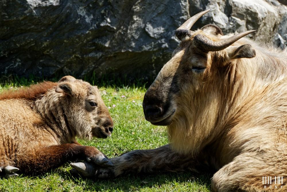 Maman Takin et son bébé (trop mignion)