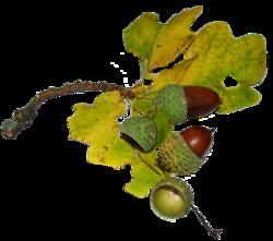 Nature, feuilles, fleurs, arbres, gland (Automne)
