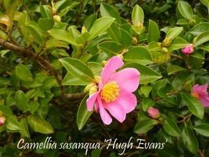 Camellia La Roche Jagu oct2010 004