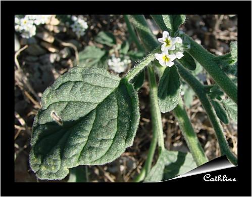 héliotrope feuille et fleur