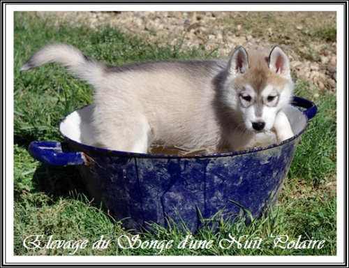 Chiots Huskys Groupe (50j)