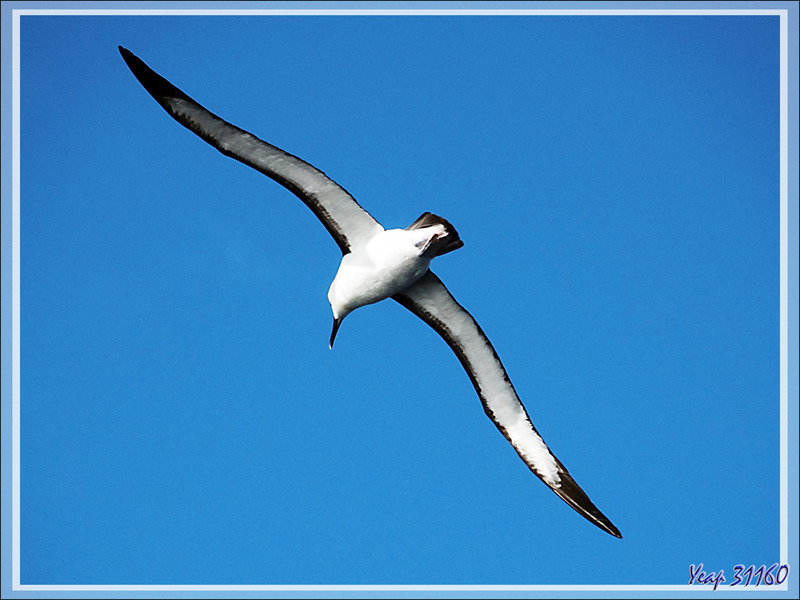 Albatros à nez jaune, Atlantic Yellow-nosed Albatross (Thalassarche chlororhynchos) - Tristan da Cunha
