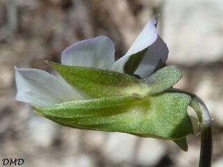 Viola arvensis - pensée des champs