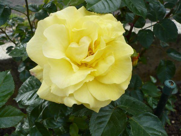Rose-jaune-mai14.jpg