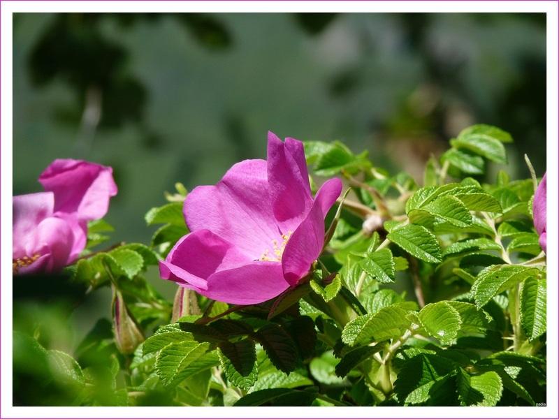 "Roses sauvages.(communauté ""Instant T. 95)"