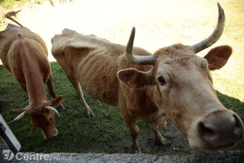 L'agriculteur de Saint-Diéry s'est vu retirer ses 74 bêtes sur arrêté préfectoral en début d'année. Il les laissait à l'abandon, ne les nourrissait pas correctement et ne les soignait pas. - Photo d'illustration